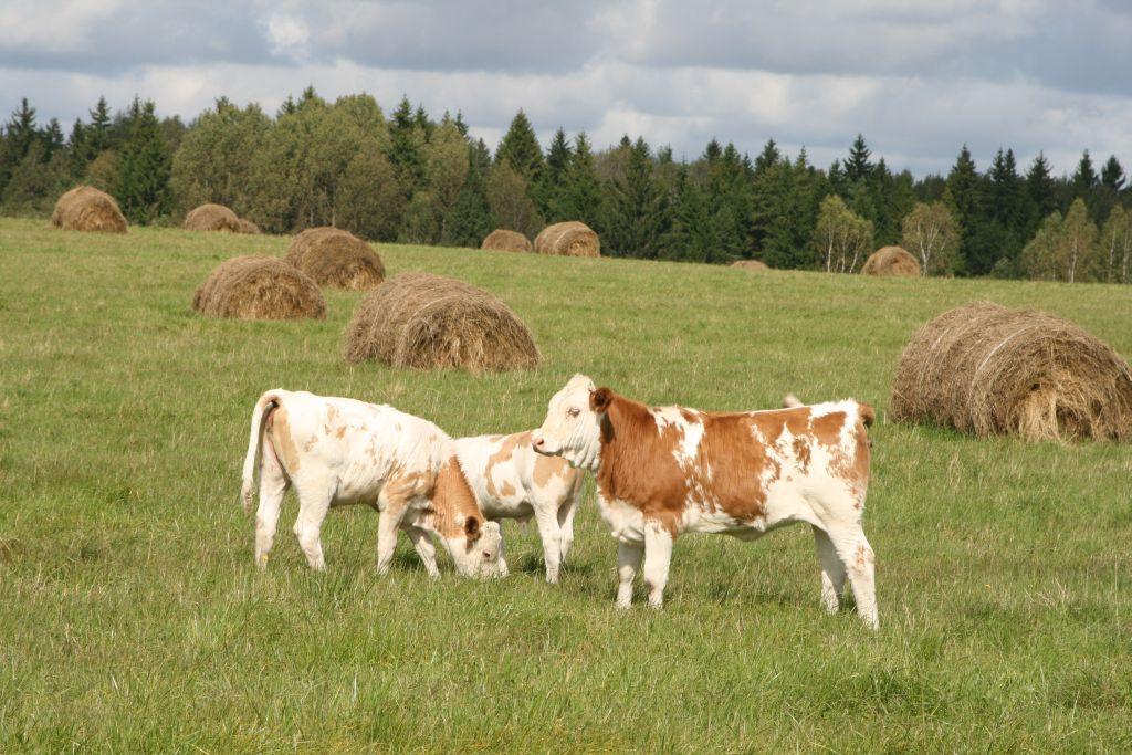 Наши коровки